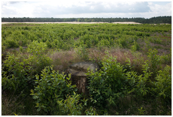In open habitats, such as this moorland in the Netherlands, Prunus serotina may spread invasively, as this carpet of seedlings shows.