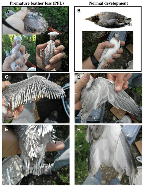 Plumage characteristics resulting from of premature feather loss (PFL) in common tern chicks at Gull Island in 2014 (A, C, E) versus normal development (B, D, F; overhead photo in B is taken from the Common Tern Aging Guide: Wails, Oswald & Arnold, 2014).