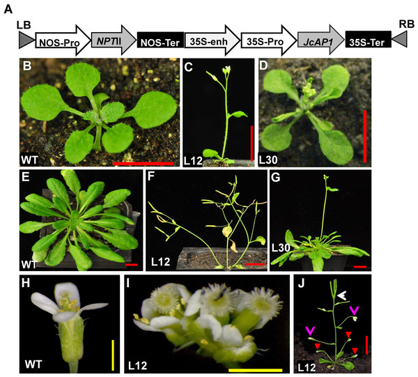 Ectopic expression of JcAP1 results in early flowering and abnormal flowers in transgenic Arabidopsis.