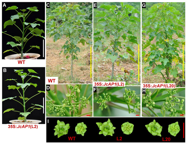 The flowering time of 35S:JcAP1 transgenic Jatropha in the field.