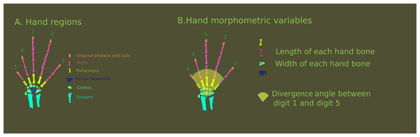Hand regions and morphometric variables.