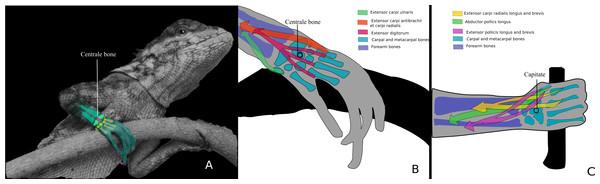 Centrale bone as a keystone in the carpus.