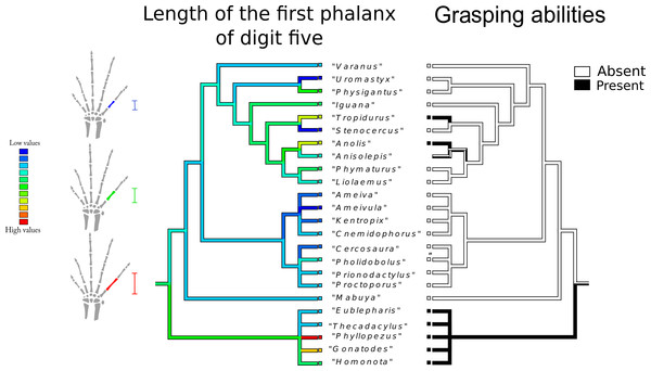 Character history of the length of the first phalanx of digit five compared to the character history of grasping abilities.