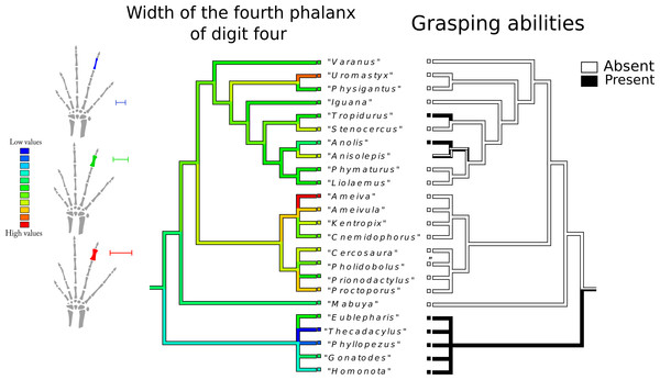 Character history of the width of the fourth phalanx of digit four compared to the character history of grasping abilities.