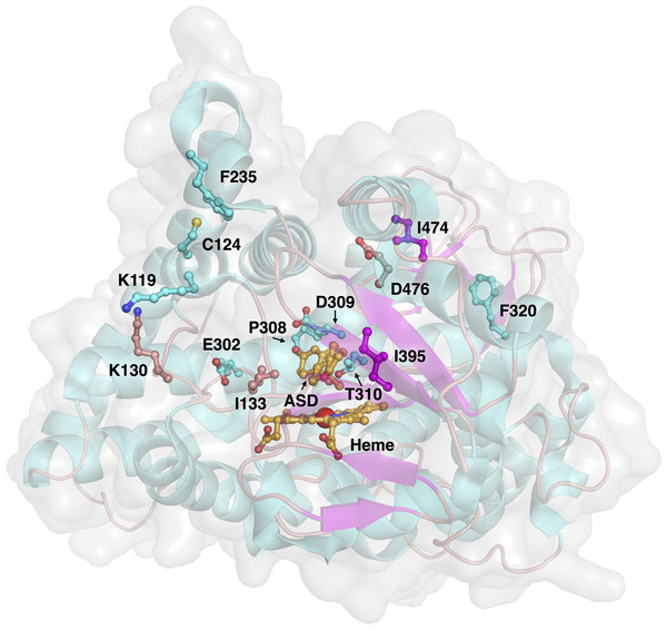 Three-dimensional structure of aromatase and investigated sites of mutations.