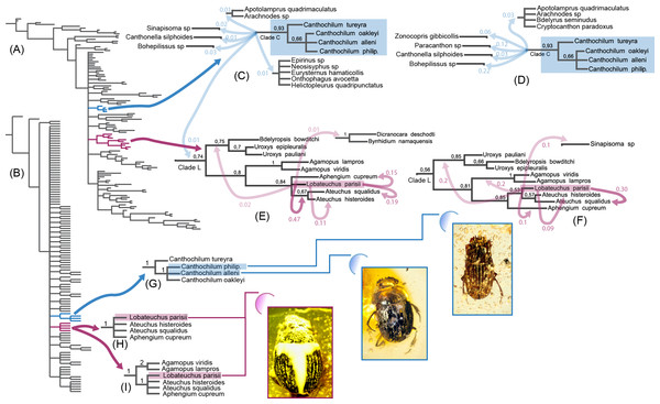 Morphology-based Bayesian and parsimony analyses of Scarabaeinae showing positions of investigated fossil species, which are illustrated in the low left corner.