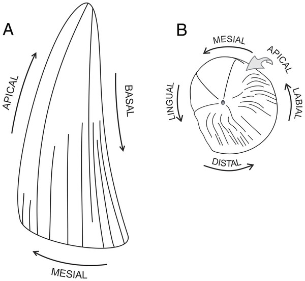 Tooth anatomical orientation in idealized plesiosaur tooth.