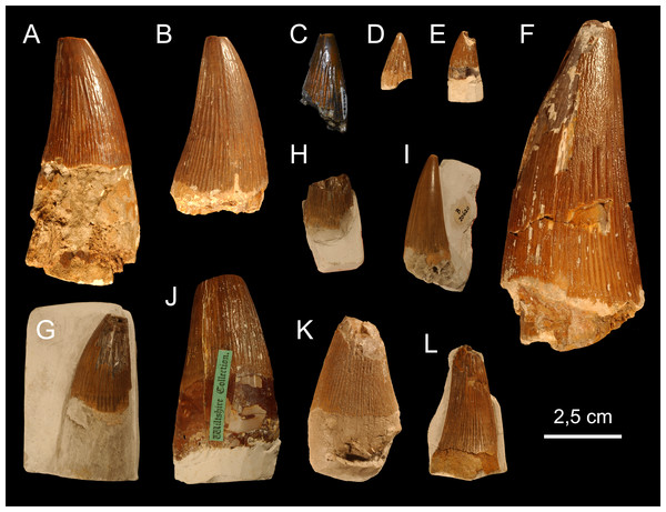 Teeth from the Chalk Group.