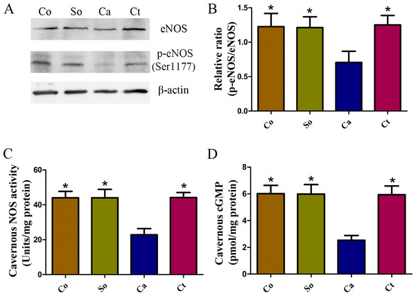 Testosterone-induced increase in the NOS/cGMP signaling pathway in penile tissue.