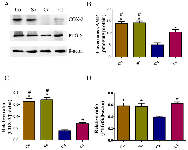 Testosterone-induced increase in the COX-2/cAMP signaling pathway in penile tissue.