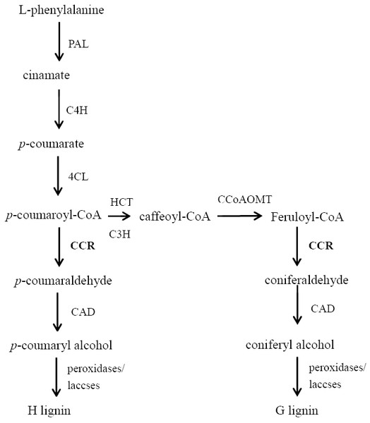 The outline of the lignin biosynthetic pathway.
