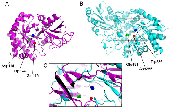 Active site residues in the chitinase and β-D-glucan exohydrolase.