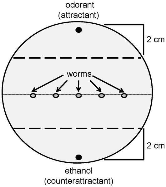Diagram of a chemotaxis assay plate.