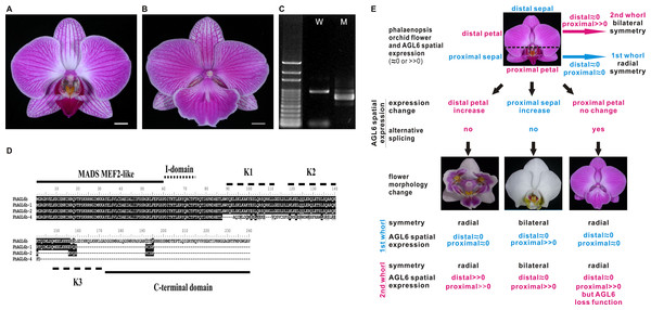 Possible evolutionary relationship of PhAGL6b in the regulation of lip formation and floral symmetry in Phalaenopsis orchid.