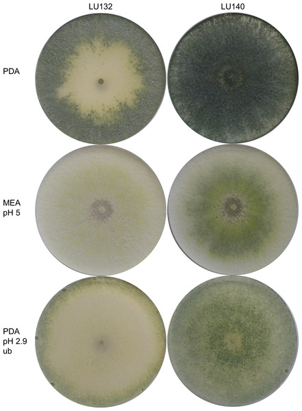 Colony appearance/ conidiation patterns of LU132 and LU140.