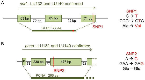 Confirmed annotation of SNP-containing serf and pcna.
