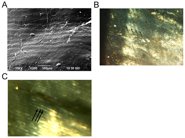 Enamel microstructure and microwear analyses of the HGT 500 specimen.