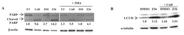 Autophagy negatively regulates CuD- or Z36-induced PARP cleavage in ATL patient cells.