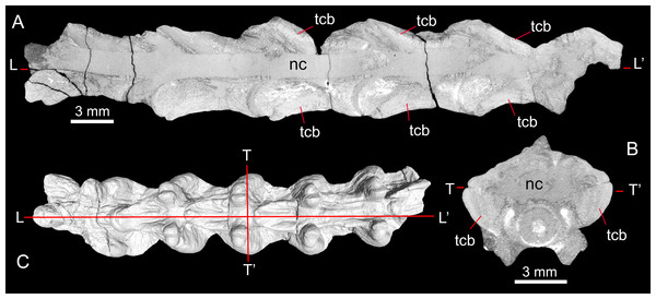 Longitudinal (A) and transverse (B) μCT sections through specimen MNCN-1827-F showing pachyostotic, thickened cortical bone; with section positions shown in C.