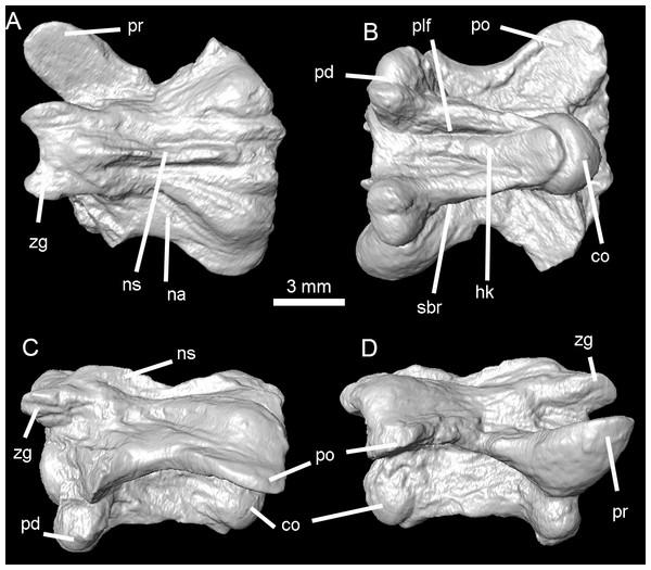 Holotype of Lunaophis aquaticus.