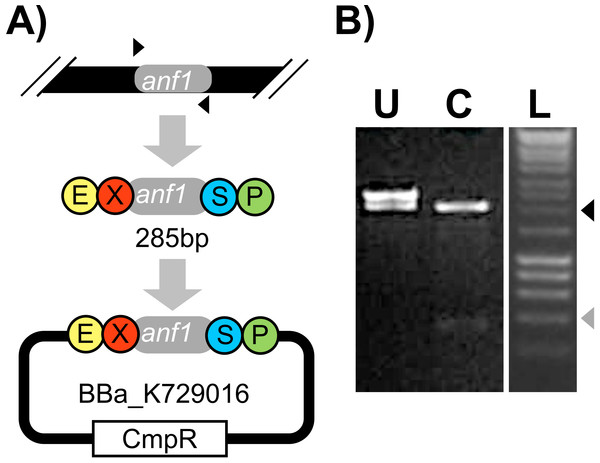Amplification and subcloning of anf1.