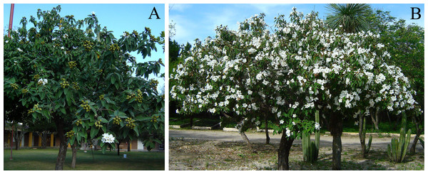 Examples of Cordia boissieri plants with distinct flower cover.
