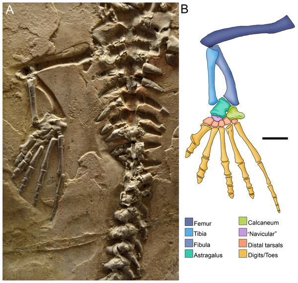Photograph (A) and anatomical reconstruction (B) of the crus in an adult Mesosaurus tenuidens.