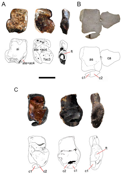 Ontogenetic transition of the 'navicular' in Mesosaurus tenuidens.