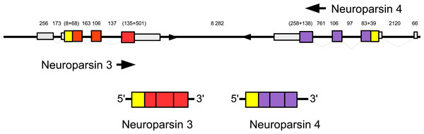 Configuration of Eriocheir neuroparsin genes 3 and 4.