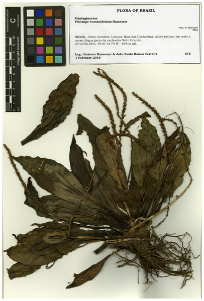 Scanned image of the holotype of Plantago humboldtiana (G. Hassemer & J.P.R. Ferreira 878 (FURB)).