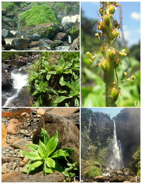 Photographs of Plantago humboldtiana.
