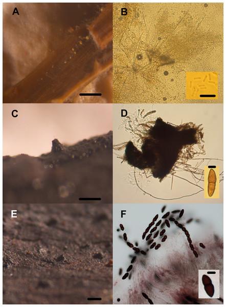 Transient lignocellulolytic aquatic fungi.