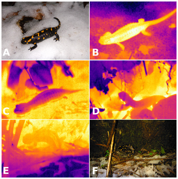 Visible light and infrared images of salamanders.