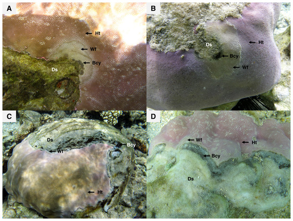 Massive colonies of Porites lutea exhibiting signs of Porites black band disease (PorBBD) at (A) Ravine des Poux, (B) and (C) La Corne, and (D) Trou d'Eau in Reunion Island.