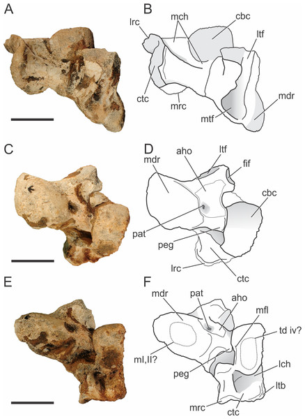 Pissarrachampsa sera (holotype, LPRP/USP 0019), photographs and schematic drawings of the left astragalus and calcaneum in proximal (A and B), cranial (C and D), and distal views (E and F).