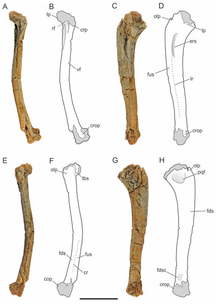 Pissarrachampsa sera (holotype, LPRP/USP 0019), photographs and schematic drawings of the right ulna in cranial (A and B), lateral (C and D), caudal (E and F), and medial views (G and H).