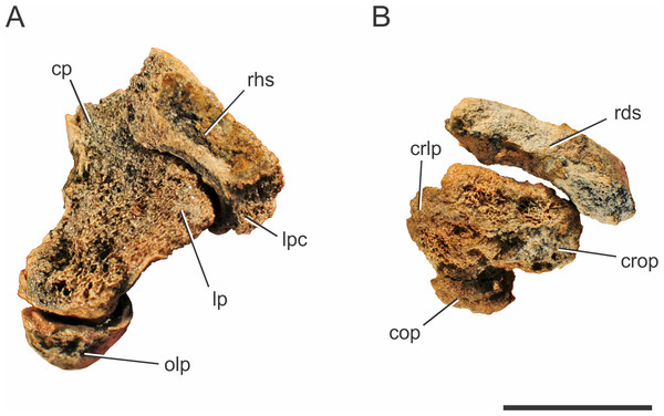 Pissarrachampsa sera (holotype, LPRP/USP 0019), photographs of articulated right ulna and radius in proximal (A) and distal views (B).
