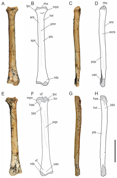 Pissarrachampsa sera (holotype, LPRP/USP 0019), photographs and schematic drawings of the right radius in cranial (A and B), lateral (C and D), caudal (E and F), and medial views (G and H).