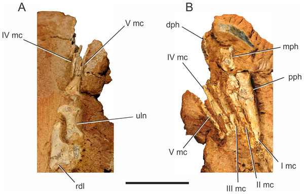 Pissarrachampsa sera (holotype, LPRP/USP 0019), photographs of the right carpus/manus in dorsal (A) and ventral views (B).