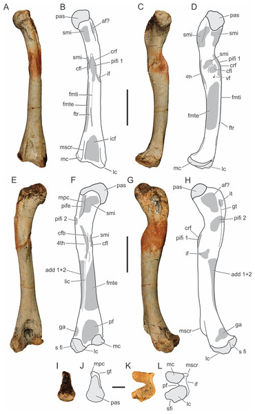 Pissarrachampsa sera (holotype, LPRP/USP 0019), photographs and schematic drawings of the left femur in cranial (A and B), medial (C and D), caudal (E and F), lateral (G and H), proximal (I and J), and distal views (K and L).