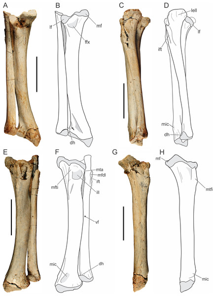 Pissarrachampsa sera (holotype, LPRP/USP 0019), photographs and schematic drawings of the articulated left tibia and fibula in caudal (A and B), lateral (C and D), cranial (E and F), and medial views (G and H).