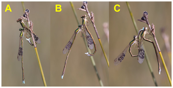 Female refusal behaviour, using the abdomen to try to dislodge the male (A and B), and the start of precopulatory tandem (C), once female shows signs of receptivity.