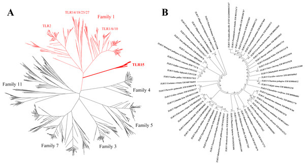 Phylogenetic analysis of TLR15 and the other vertebrate TLRs.