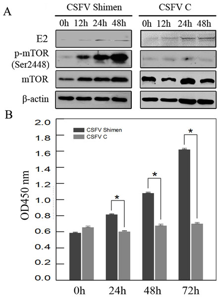 CSFV Shimen infection activates mTOR signalling pathways in SUVEC.