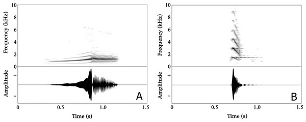 Spectrograms (above) and oscillogram (below) of Nyctibatrachus humayuni calls.