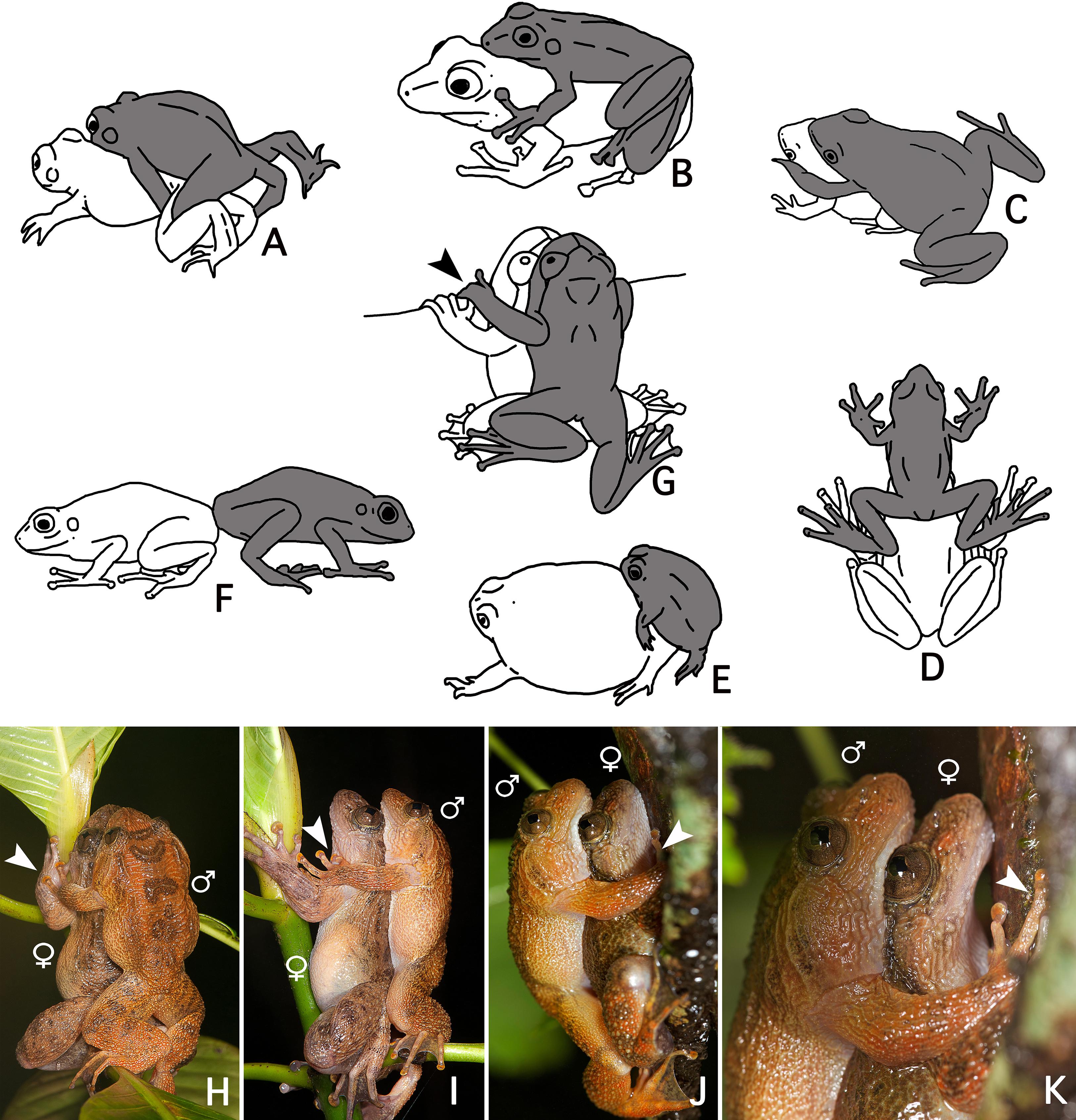 Frog sex male call female eggs