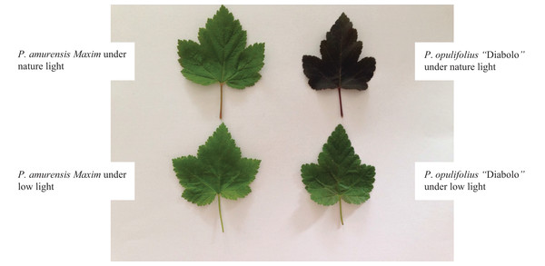 "Color changes in the leaves of Physocarpus amurensis Maxim and Physocarpus opulifolius ""Diabolo"" under natural and low-light intensities."