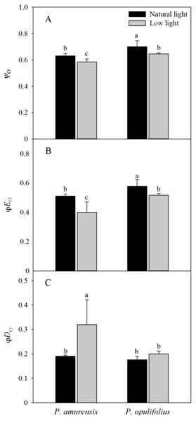 Difference of energy flux ratios in leaves of two cultivars of Physocarpus under different light intensities, Ψo (A), ϕEo (B) and ϕDo (C).