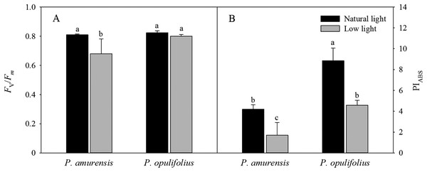 Fv/Fm (A) and PIABS (B) in leaves of two cultivars Physocarpus under different light intensities.