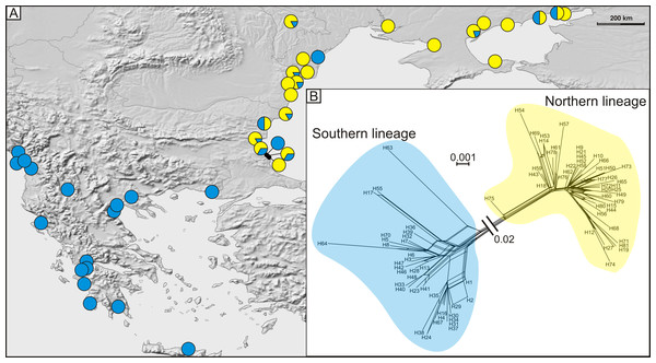 (A) Geographic distribution of haplogroups from southern (blue circles) and northern (yellow circles) lineages and (B) median joining network of 81 detected COI haplotypes showing southern (blue shading), and northern (yellow shading) lineages.